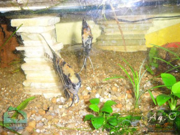ENABETTAS 2011 - Habitantes do paludário na loja Smart Fish (Obra de Carlos Orcades)