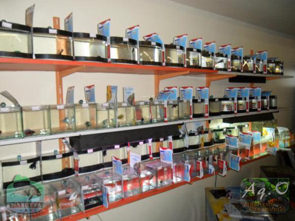 ENABETTAS 2011 - Algumas das beteiras com Bettas importados