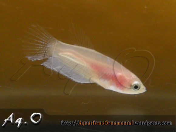 Betta splendens albino