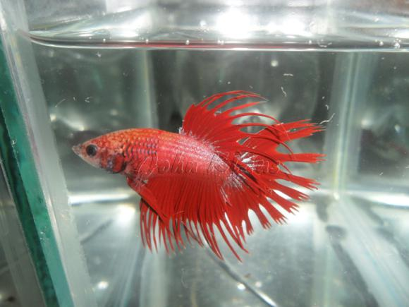 Crowntail-01