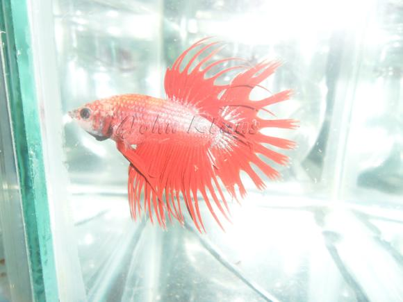 Crowntail-03